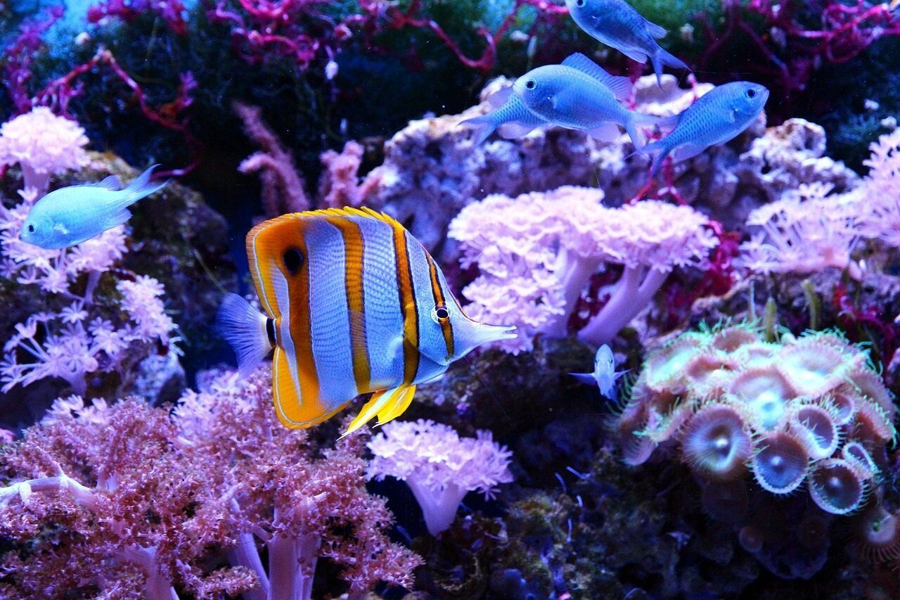 butterfly-fish-3454404_1280